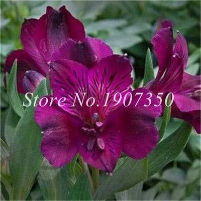 Shopmeeko Graines: Bonsai 100 Pcs Rare Bonsai Alstroemeria Beauté fleurs en pot Balcon Plantation Saisons Bonsai Color Mixed bonsaïs d'intérieur: 22