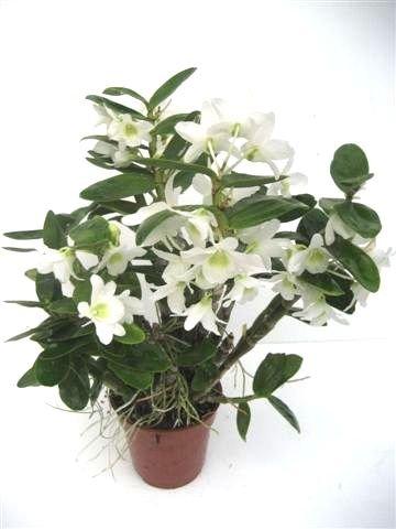 1 blühfähige Orchidee der Sorte: Dendrobium Pocket Lover, 9cm Topf, kompakt, duftend