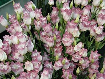 VISTARIC 1: Japon Bonsai Annona Corossol Graine Heirloom Annona Graine de plantes en pot Juicy Fruit Succulent Graine Rare Outdoor vivace Arbre 5 Pc 1