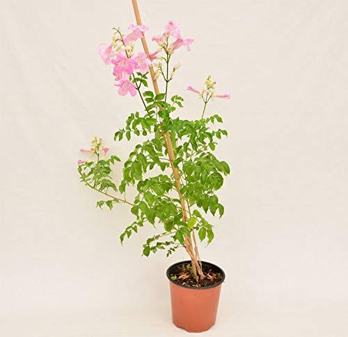 Pianta Bignonia Eretta su Canna, Altezza 80cm, (Colore scelto in base alla disponibilità)