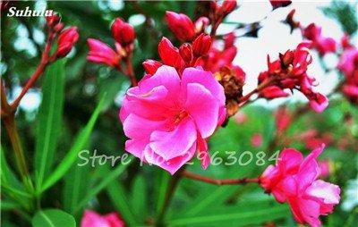 100 Pcs Nerium Oleander Flower Look Seed Tout comme les plantes Rose Fleur Bonsai jardin Arbre Quatre Saisons fleurs vivaces Easy Grow 10