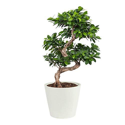 Ficus Ginseng Bonsai | mit Übertopf ECOPOT Stein blau | grüne Pflanzen | Zimmerpflanze | Höhe 70 cm | Topf 27 cm | japanisches Geschenk