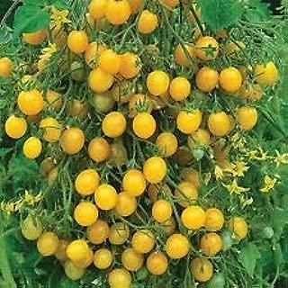 angel sweet tomato plants