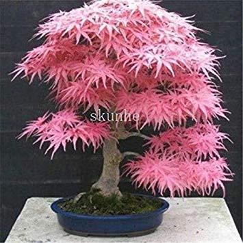Echter japanischer Geist Blau Ahorn Bonsais Rare Balkon Bonsai-Baum-Pflanzen für Hausgarten-20 PC Verschiffen: 7