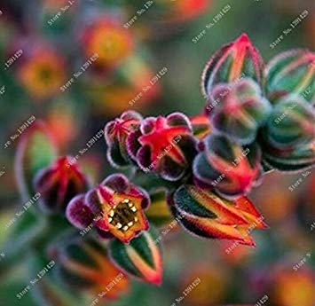 ASTONISH SEEDS: Como demostración de la imagen: 100 piezas distintas semillas Semillas Lithops Lig piedra de la flor de cactus raro suculento de Bonsai colorido de la planta y Fácil Crecer Jardín