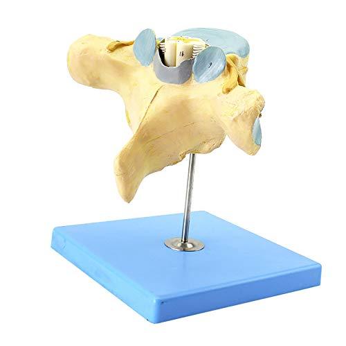 TKer Cauda Equina Vergrößerungsmodell, Anatomisches Modell des Haustieres für die medizinische Ausbildung Ausbildungshilfe Laborbedarf