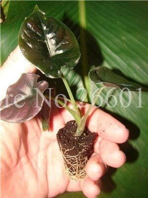 30Pcs Alocasia Jewel Of Borneo Kapit Alocasia Infernalis Lila Elefant-Ohr Sml Samen Für Hausgarten: 7