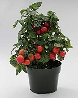 Sweet N Neat Cherry Red Tomato Seed