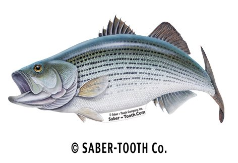 New Saber-Tooth Co Striped Bass Fish Decal Sticker ~ Fishing & Wildlife Series