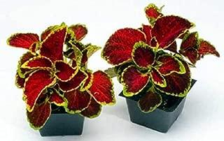 Raflesa Coleus Seeds- Fairway Ruby, Flowers Seed,Extra Dwarf. Very Showy, Shade Loving, Foliage Plant (Packet- 100 Seeds)