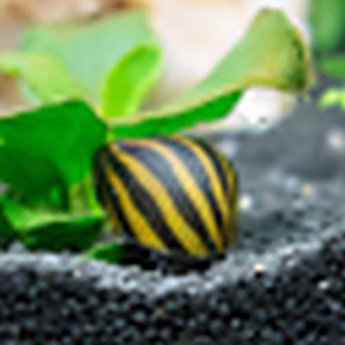 Pet's House Live Tropical Aquarium Snails For Sale - Zebra Nerite Snails - Bundles 5-10