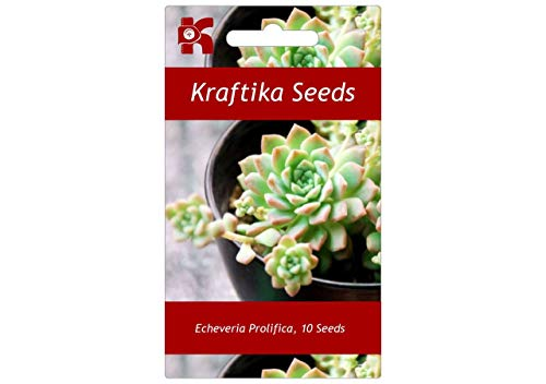 10 Samen Echeveria Prolifica, Garten, Sukkulenten, Niedlich, Sukkulenten, Exotische Und Seltene Sukkulente Blume, Pflanzen, Samen, Geschenk Idee, Dekoration Cactus