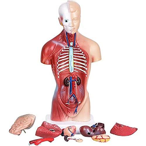 Modelo De Torso Humano Modelo De Cuerpo De Anatomía Con 15 Órganos Extraíbles Medio Cuerpo Con Órganos Internos Modelo De Anatomía Del Torso - Para Entrenamiento Educativo Modelo De Órgano Médico