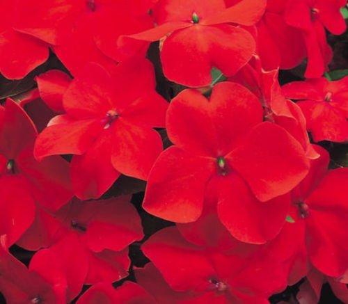 Rouge Impatiens Graines, Impatiens Scarlet Seed, non Ogm Heirloom annuel Fleur 50ct