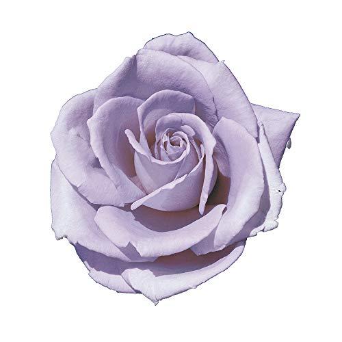 Blue Monday, rosaio vivo di Rose Barni®, rosa in vaso molto profumata linea prestigio, pianta di rosa slanciata, rifiorente e robusta cod.71050