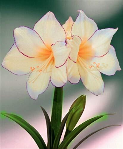 Amaryllis Zwiebeln sind wirklich seltene weiße natürliche Hippeastrum Topf subtropische gemäßigte Pflanzen, DIY Heimtextilien-3zwiebel