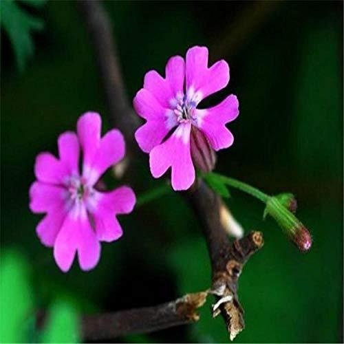 Aerlan Couleur Riche graines,Roue à Neige naine Grande Fleur de Vigne Jardin graines de Fleurs en pot-500 Court,Jardin Graines