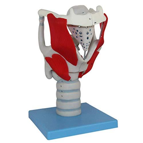 Modelo de función de estructura laríngea modelo traqueal de la ayuda de entrenamiento educativo médico herramienta de enseñanza juguete, modelos médicos y materiales educativos