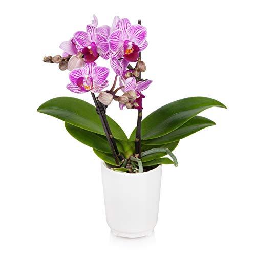 "Just Add Ice JAI203 Mini Orchid Easy Care Live Plants, 2.5"" Diameter, Unique Multi Color"