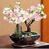 10個のミニツリー日本の桜の種子、花桜ホームGradenデコレーション ブラック