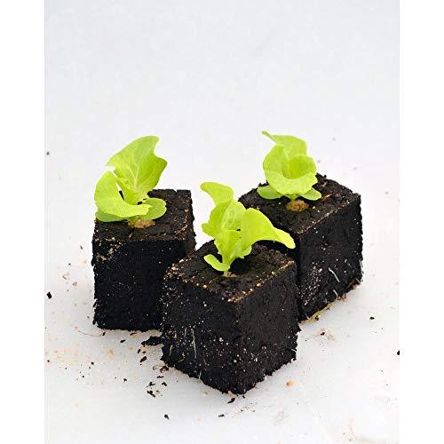 Gemüsepflanzen - Eichblattsalat / Piro - Lactuca sativa var. acephala - Asteraceae - 12 Pflanzen
