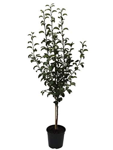 Müllers Grüner Garten Shop Gute Luise Herbstbirne ein Birnenbaum als Buschbaum 150-170 cm 9,5 Liter Topf Unterlage Quitte A