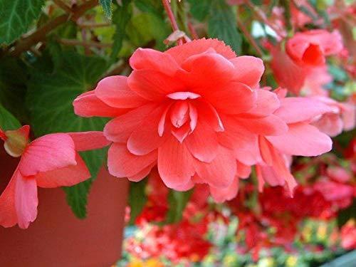 New Balcon usine 20 pièces colorées Begonia Graines de fleurs Rare Rose Rieger Begonia fleurs Begonia Plantes d'intérieur Bonsai Garden 11