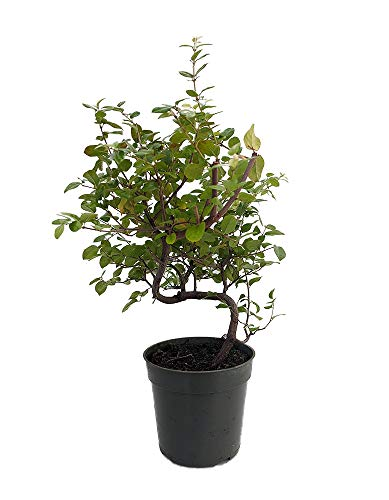 Chinese Bird Plum Pre Bonsai Tree - Sagaretias - Potted - 4' Pot