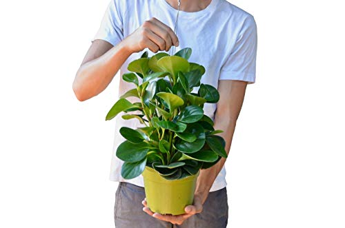 """Peperomia 'Thailand' in 6"""" Pot - Baby Rubber Plant - Free Care Guide"""