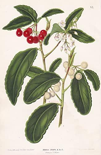 Ardisia Crispa - Asia flower Blume flowers Blumen botanical Botanik botany