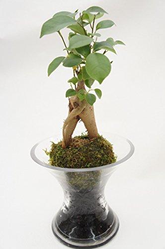 【土を使っていないので衛生的でお部屋のインテリアにぴったりお手入れ簡単。炭の力でマイナスイオン効果も!】 ハイドロカルチャー 観葉植物 ガジュマル スパイラルガラス 苔玉 炭