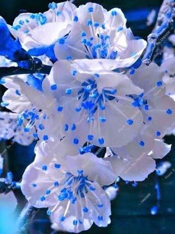 Seltene japanische blaue Kirschblüten Sakura japanische Kirsche Cerasus Yedoensis Biji Bonsai Blumensamen -10 Stück