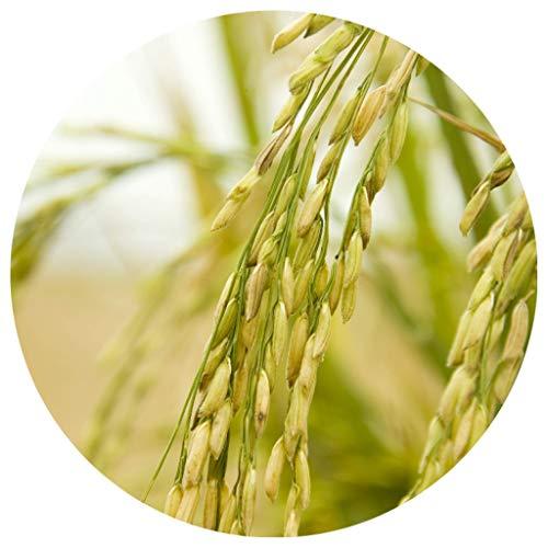 Echter Reis / Oryza sativa ssp. japonica / 50 Samen / Ernte bereits nach 4-5 Mon. möglich