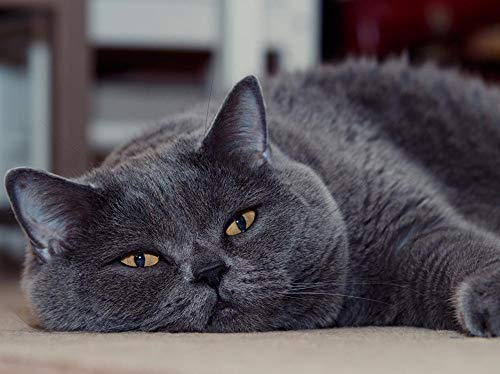 Lsping Gatos British Shorthair Grey Glance Hocico 50x70cm