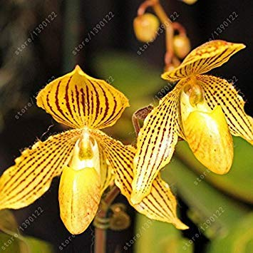FERRY Hohe Wachstum Seeds Nicht NUR Pflanzen: Seeds CUSHY-100pcs / Bag Cypripedium Samt Balkon Bonsai Blumensamen Terrasse Blumen Paphiopedilum Pantoffel Orchideensamen für HOMEe Gärten