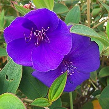VISTARIC Armée verte: 200PCS Pure-couleur Pétunia Graines Graines de fleurs vivaces fleurs pour jardin Bonsai Pot plantation Pétunia DECORATIFS vert