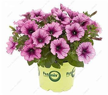 VISTARIC 3: Double Dahlia Seed Mini Mary Fleurs Graines Bonsai Plante en pot bricolage jardin odorant fleur, croissance naturelle de haute qualité 50 Pcs 3