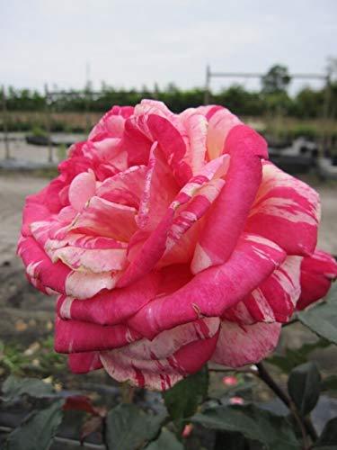 Edelrose Broceliande® - Rosa...