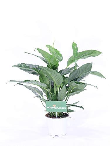 pianta da interno di Spatifillo o Spathiphyllum vera da interno v17