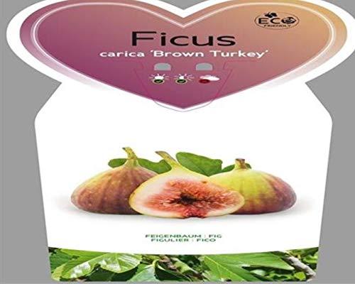 Feige 1 Stück Brown Turkey Ficus carica winterhart eßbar T11