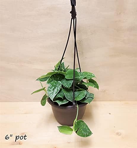 "Rare Scindapsus Pictus Argyraeus 'Silver Satin Pothos ' Live Plant (4"" Pot) by 3exoticgreen"