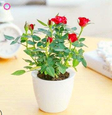 100 PCS Mini Rose Bonsai Miniature Rose Graines jardin Lumineux Belles fleurs en pot Graines vivaces Balcon Bonsai plantes 3