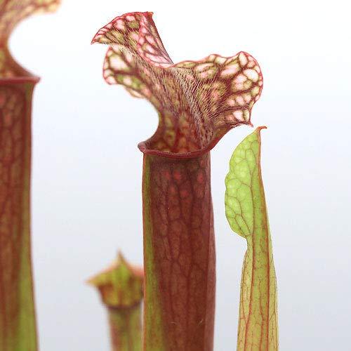 (食虫植物)サラセニア ジュディスヒンドル 3号(1ポット)