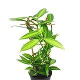 Zoom IMG-2 orchidea vaniglia xl vanilla planifolia