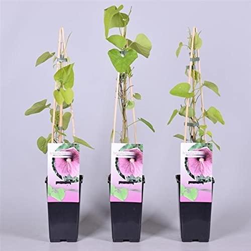 Pfeifenwinde Topf 2 Liter 40-60 cm - Aristolochia macrophylla - Kletterpflanze