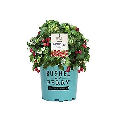 Bushel and Berry - Rubus Raspberry Shortcake (Thornless Raspberry) Edible-Rubus, Red Raspberry, 2 - Size Container