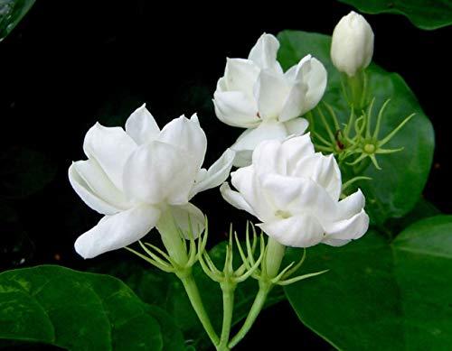 Arabian Jasmine, White Jasmine Plạnt, from 2 to 5 Inc Tall