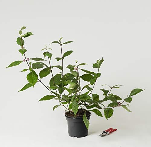 Liebesperlenstrauch Schönfrucht Profusion - Callicarpa bodinieri Profusion 40-60 cm hoch - Garten von Ehren