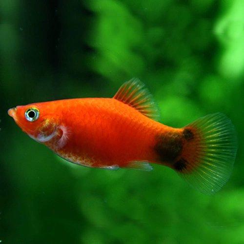 (熱帯魚)レッドミッキーマウスプラティー(約3-4cm)<6匹>[生体]