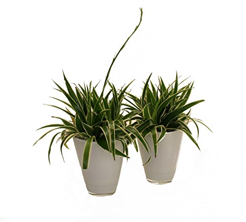 Dominik Blumen und Pflanzen, 891794 grünlilie Ocean, 2 Pflanzen, Dekotopf, weiß